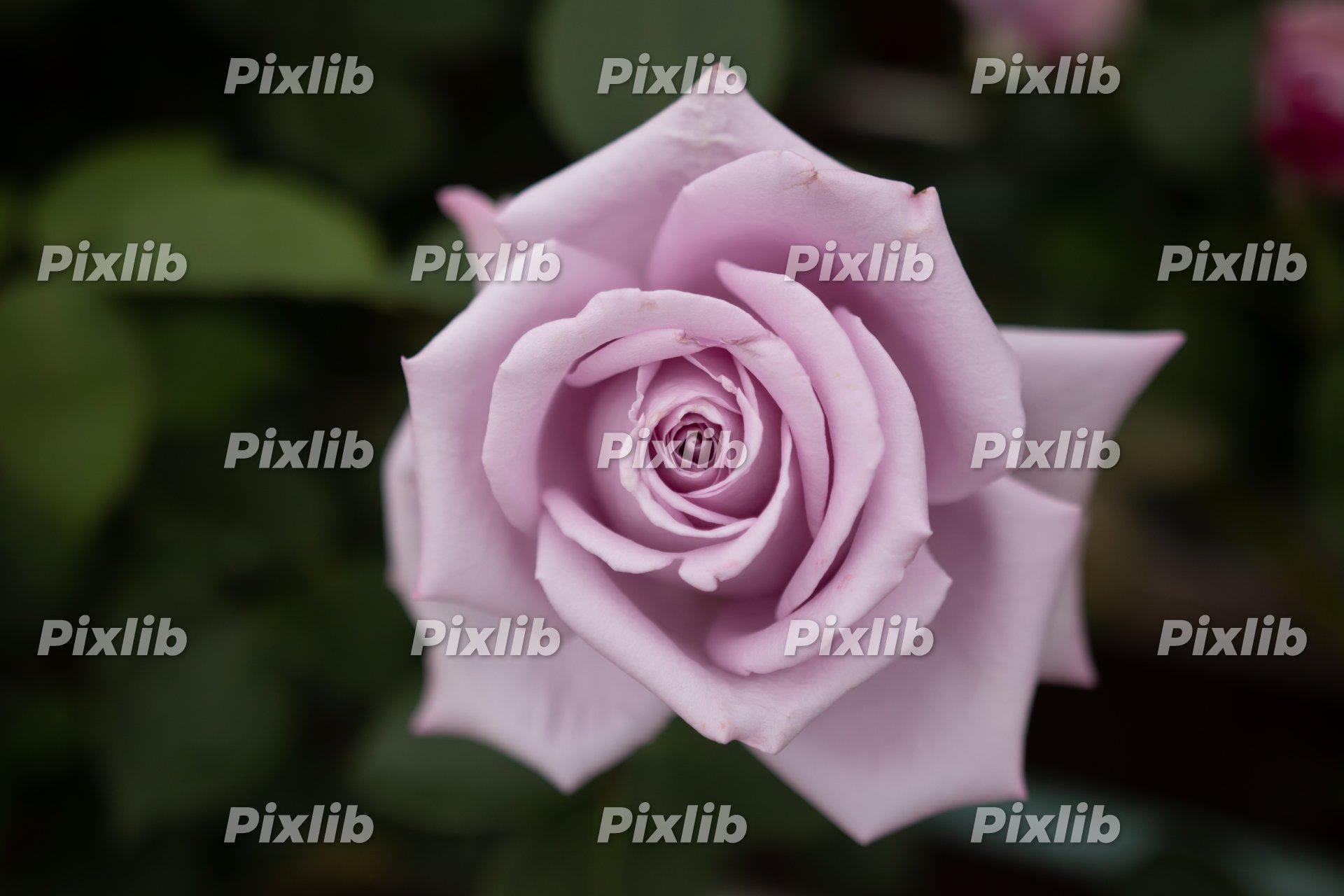 淡い赤紫のバラ