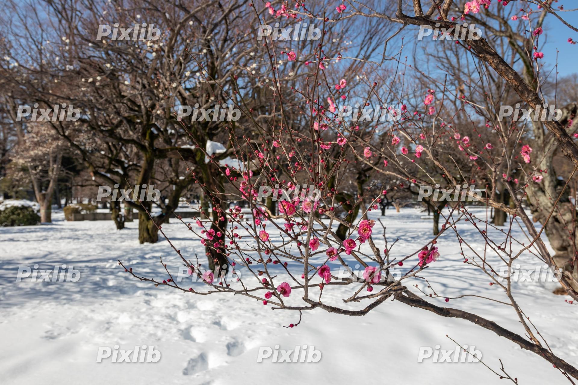 早咲き梅と雪景色