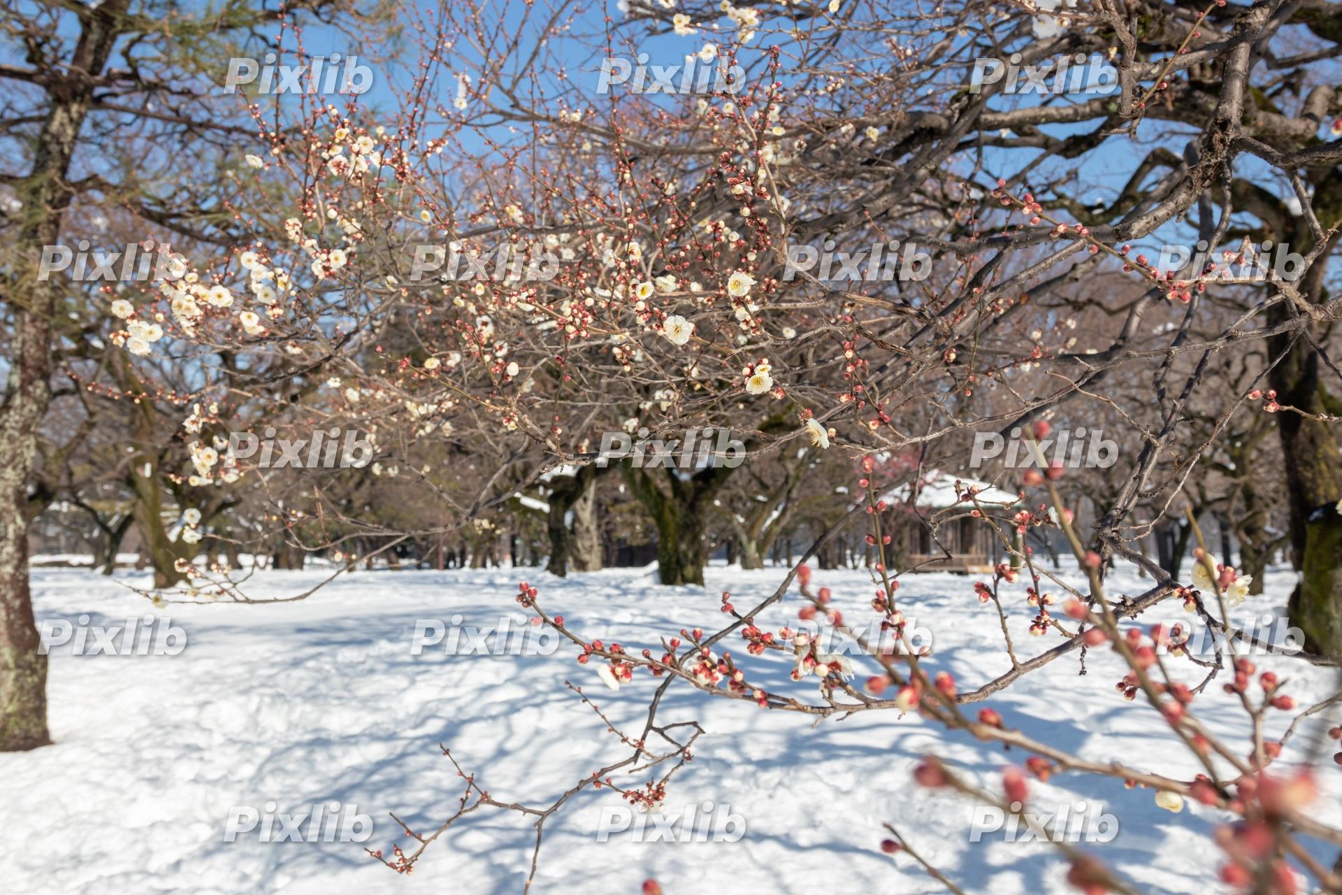 雪の中で開花した梅