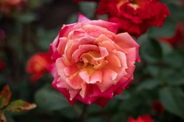 淡赤のバラ