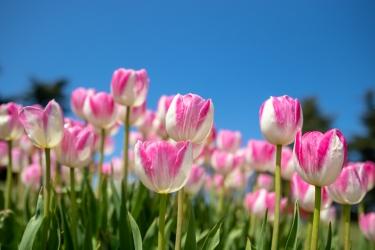 青空とピンクのチューリップ