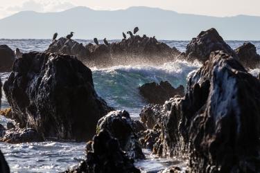 荒波打ち付ける岩場で休む海鳥 根本海岸