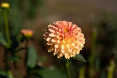 オレンジのダリア-ボール咲き