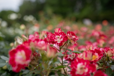 色鮮やかなバラ達