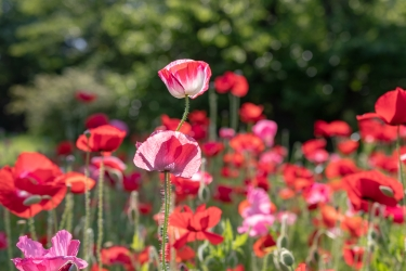 春の陽を浴びて輝くポピー