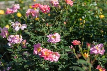 バラが咲く庭