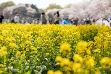 菜の花畑と桜の木
