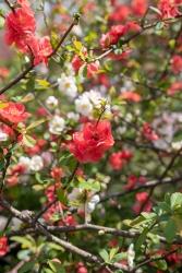小金井公園のボケの花